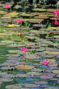 a pond full of flowers