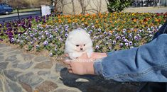 Teacup Pomeranian, All The Colors, Puppies, Colours, Cubs, Pup, Newborn Puppies, Puppys, Doggies