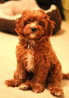 Cavalier King Charles spaniel and poodle mix. | Adorable