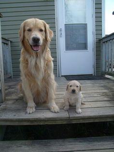 Mother and Daughter. Golden Retrievers