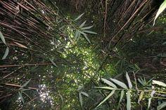 Bamboo @ Lanhydrock Cornwall