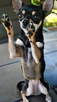 Sticking em' up Chihuahua image via www.Facebook.com/CuteChihuahuaFans