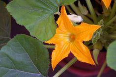 Come coltivare le zucchine in vaso. Alcuni consigli utili per la semina e la coltivazione delle zucchine in vaso.
