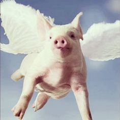 flying pig more flyin pigs flying pigs memas pigs baby pigs luv pigs ...