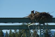Mom osprey talking to the kids in the nest -- west of Grants Pass, Oregon.