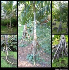 Akenini.com - Animaux Etranges Bizarres - Weird Oddities Animal - Socratea exorrhiza - le palmier marcheur