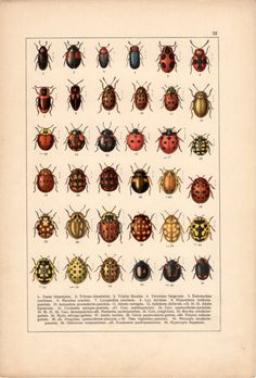 Ladybirds Antique Print Insects Vintage Lithograph by Craftissimo, €14.00