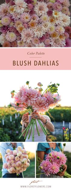 Floret's favorite blush pink colored dahlias include: Café au Lait, Appleblossom, Castle Drive, Jowey Winnie, Bracken Rose, Valley Porcupine, Alloway Candy.