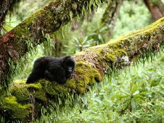 Virunga Gorilla Pictures - Ape Wallpapers - National Geographic