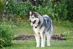 Fun time in the yard Giant Malamute, Fun Time, Good Times, Husky, Yard, Dogs, Animals, Patio, Animales