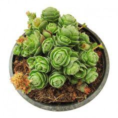 Cactus crassula emerade