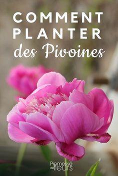 Planter des pivoines