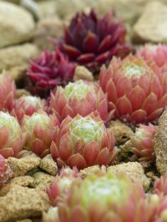 sempervivum species by celerycelery, via Flickr