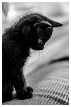 Little black kitten Cute Kittens, Kittens And Puppies, Little Kittens, Cats And Kittens, Image Chat, White Cats, Black Cats, Black Kitty, Lil Black