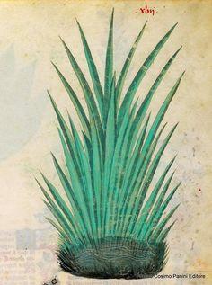 """""""Il burdi è la medicina delle medicine che guarisce. Questa erba si mette a macerare nell'aceto e nell'acqua o nel vino: incarna le ulcere e le ferite recenti se applicata sopra ad esse"""" http://www.foliamagazine.it/wp-content/uploads/2014/01/Burdi-43r-or.jpg"""