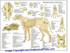 Dog Anatomy Laminated Chart. Will come in handy when I go back to school!