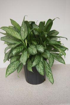 Pflegeleichte Zimmerpflanzen Pflanzen Ideen | Pflanzenideen ... Grune Zimmer Pflanzen Schoner Indoor Garten