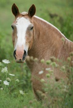 Belgian Draft horse Pinner says We learned to ride on our sweet old Belgian draft Big Horses, Work Horses, Horses And Dogs, Horse Love, All The Pretty Horses, Beautiful Horses, Animals Beautiful, Zebras, Belgian Horse