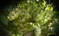 Grand Cru, Content, Fruit, Vineyard