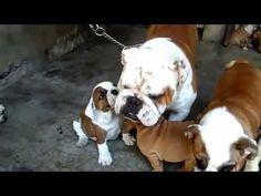 FILHOTES DE BULLDOG INGLÊS (NESSE VÍDEO) SÃO TODAS FÊMEAS!!!   #BulldogPuppyFrenchie