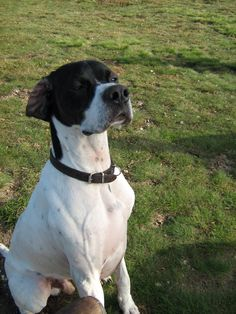 Pip ~ English Pointer ~ Classic Look English Pointer, Hunting Dogs, Classic Looks, Pointers, Pitbulls, Puppies, Animals, Dogs, Plott Hound