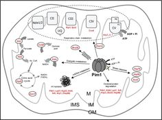 Pim1 protease is involved in mitochondrial biogenesis and integrity.