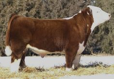 Miniature Breeds Of Cattle That Are Perfect For Small Farms Blow Dried Cow, Show Steers, Miniature Cattle, Hereford Cattle, Livestock Farming, Fluffy Cows, Teacup Pigs, Show Cattle, Showing Livestock