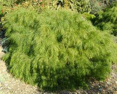Acacia cognata limelight to roof top garden pots