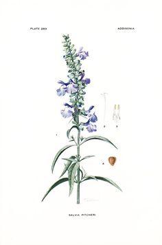 1923 Botany Print  Salvia Pitcheri  Wild Blue Sage  by Holcroft, $12.00