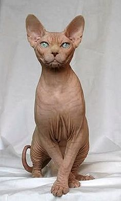 Someone from Alberta is cheating cat lovers by selling them shaved kittens. These shaved kittens were sold in the market as the hairless Sphynx cats. I Love Cats, Crazy Cats, Cool Cats, Pretty Cats, Beautiful Cats, Kittens Cutest, Cats And Kittens, Chat Sphynx, Hairless Cats