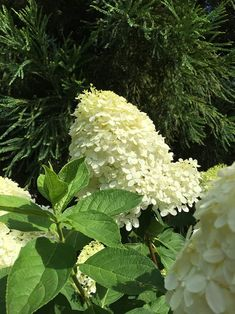 10 Popular Types of Hydrangeas - Growing Tips & Photos | Green and Vibrant Hydrangea, Flowers Perennials, Types Of Hydrangeas, Big Blooms, Hydrangea Macrophylla, Panicle Hydrangea, Showy Flowers, White Hydrangea, Fall Plants
