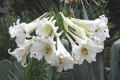 Lilium formosanum 'Giant Form' $17.00   Giant Formosa Lily   Plant Delights Nursery  