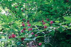 Sweetshrub -Sun to moderate shade, dry to damp soil. Maroon flowers appear from spring to summer and can be highly fragrant, although fragrance varies widely. The leaves have a coarse texture and the plant is deer-resistant. Shade Shrubs, Shade Garden Plants, Garden Shrubs, Shade Perennials, Flowering Shrubs, Trees And Shrubs, Lawn And Garden, Garden Art, Garden Ideas