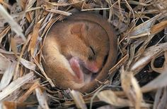 Can't get much cuter than a sleeping doormouse!