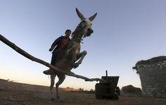 Ahmed Ayman training his donkey, Rihanna. North of Egypt's Nile Delta. Photo: Reuters/Mohamed Abd El Ghanny