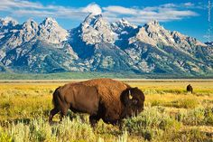 Bison in the Grand Tetons, Wyoming Grand Teton National Park, Yellowstone National Park, National Parks, Wildlife Photography, Animal Photography, Buffalo Animal, Le Zoo, American Bison, Bullen