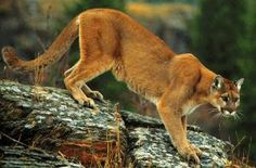 *PUMA* - Mountain Lion or Cougar- Belongs to Biological Family of Cats and Jaguarundi or Eyra Cat. Pumas, Mountain Lion Hunting, Big Mountain, Coyote Hunting, Pheasant Hunting, Archery Hunting, Parks Department, Turkey Hunting, Mundo Animal
