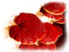 Ganoderma is a mushroom known in Chinese medicine as the cure for a variety of ailments. It is most often used in the treatment of asthma and liver diseases because the Chinese believe that it contains powerful antioxidant properties. It is also used as an alternative treatment for cancer. However, Ganoderma also has a number of adverse  side effects, although most of them temporary.