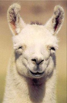Smiling Lama!