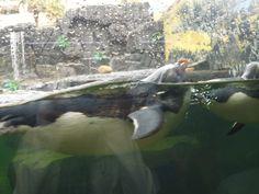 Lespinguoins la tete or de l'eau ils st trop rapides mais c tellemnt mimi disons les pingouins de Madagascar