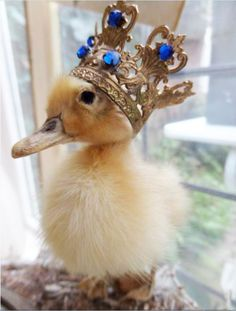 Look at this adorable, fluffy little duckling! That gorgeous crown on her head definitely makes her look like the queen of the castle! So cute and precious.