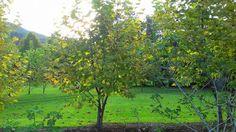 Árvore Plátanos