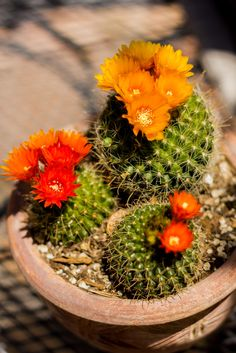 Parodia microsperma spring flowers