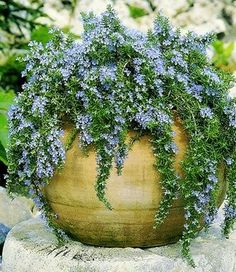 Trailing rosemary; gold container