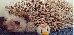 Mocha The Hedgehog c: