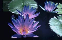 Day bloom tropical waterlily, Nymphaea Blue Beauty by adavisus, via Flickr