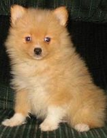 Pom-a-Poo (Pomeranian-Poodle mix) puppy