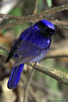 Gorgeous Blue Bird (by Boon Chin Heng)