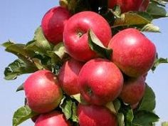 Bright-red fruit on a narrow, upright tree. Perfect for a living fence row or growing in containers! Fruit is medium-sized with a firm, sweet and. Red Fruit, Fruit And Veg, Skinny Tree, Patio Trees, Fruit Picture, Living Fence, Urban Farming, Apple Tree, Edible Garden