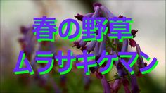【富山散策】 春の野草 「ムラサキケマン」